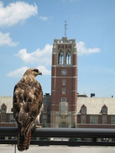 Red Hawk with View of Grasselli Tower